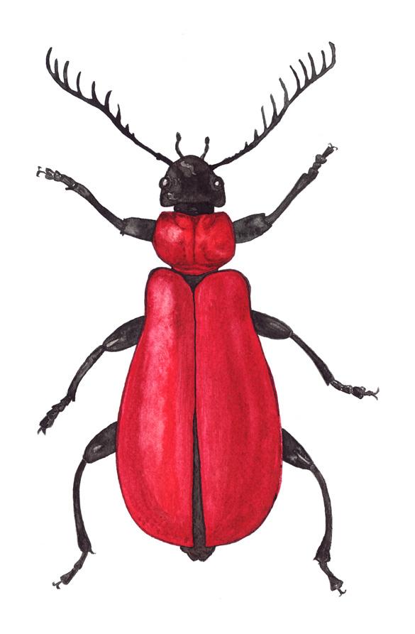 Kardinalbagge